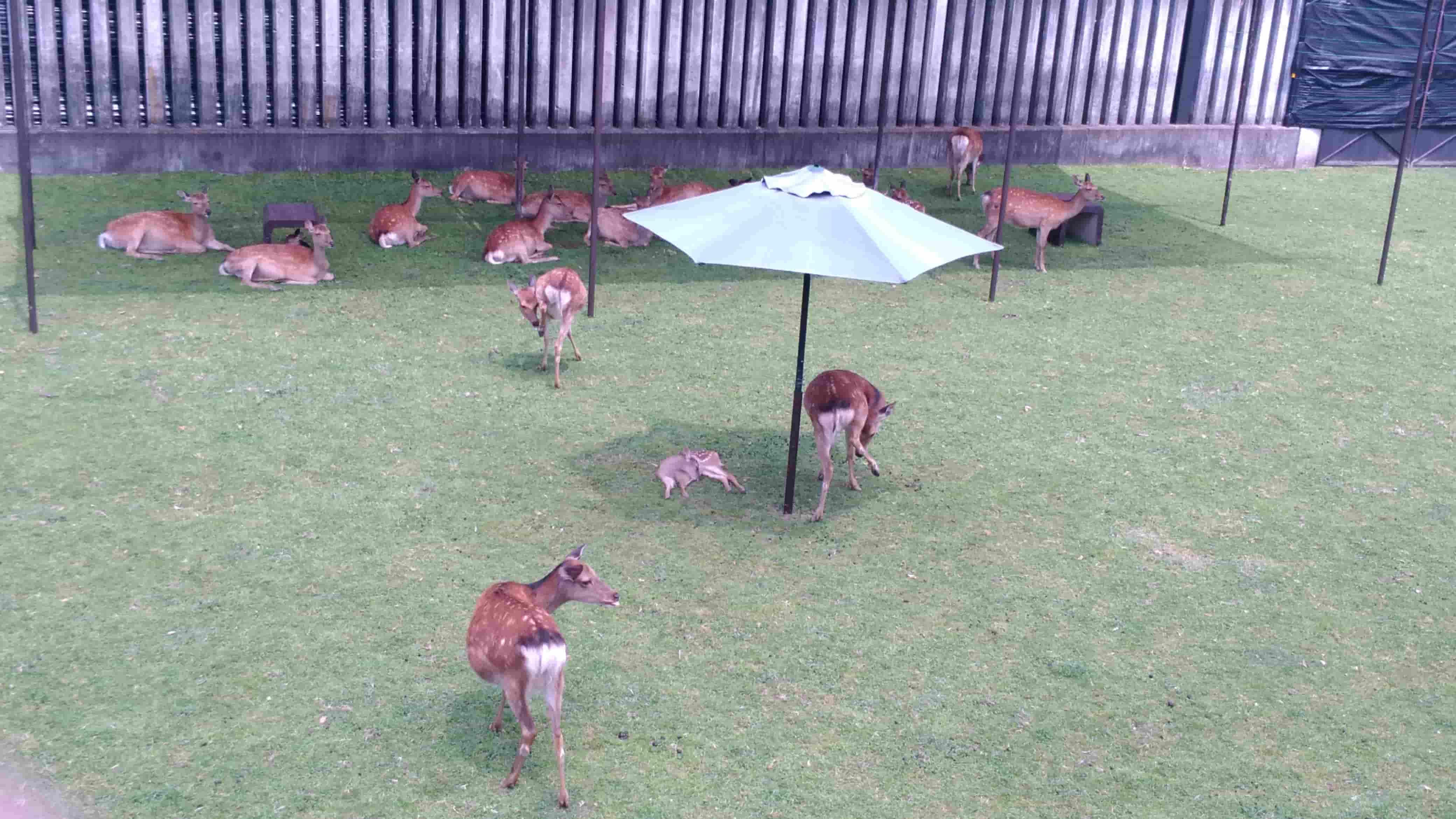 パラソル子鹿